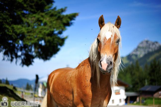 Nikon AF-S Nikkor 50 1,8 G Pferd Haflinger Bayern Alpen