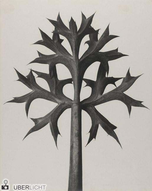 Eryngium bourgatii Karl Blossfeldt vor 1928 Sammlung Moderne Kunst